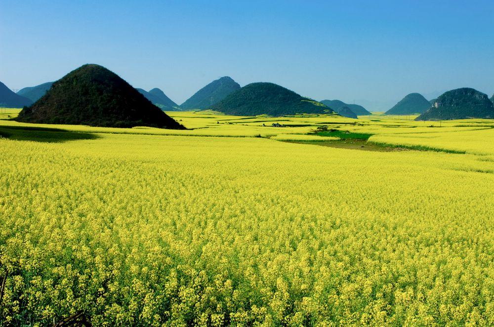 一足早く春が来てる「雲南省羅平」(中国)