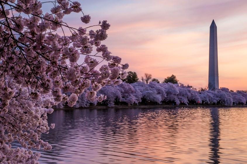 ワシントンDC桜ー2