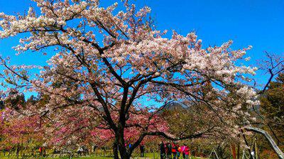 台湾桜ー1
