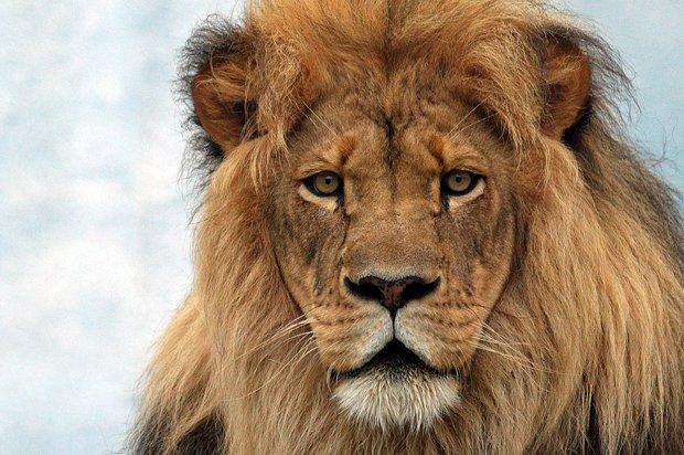 強運を呼ぶ-ライオン