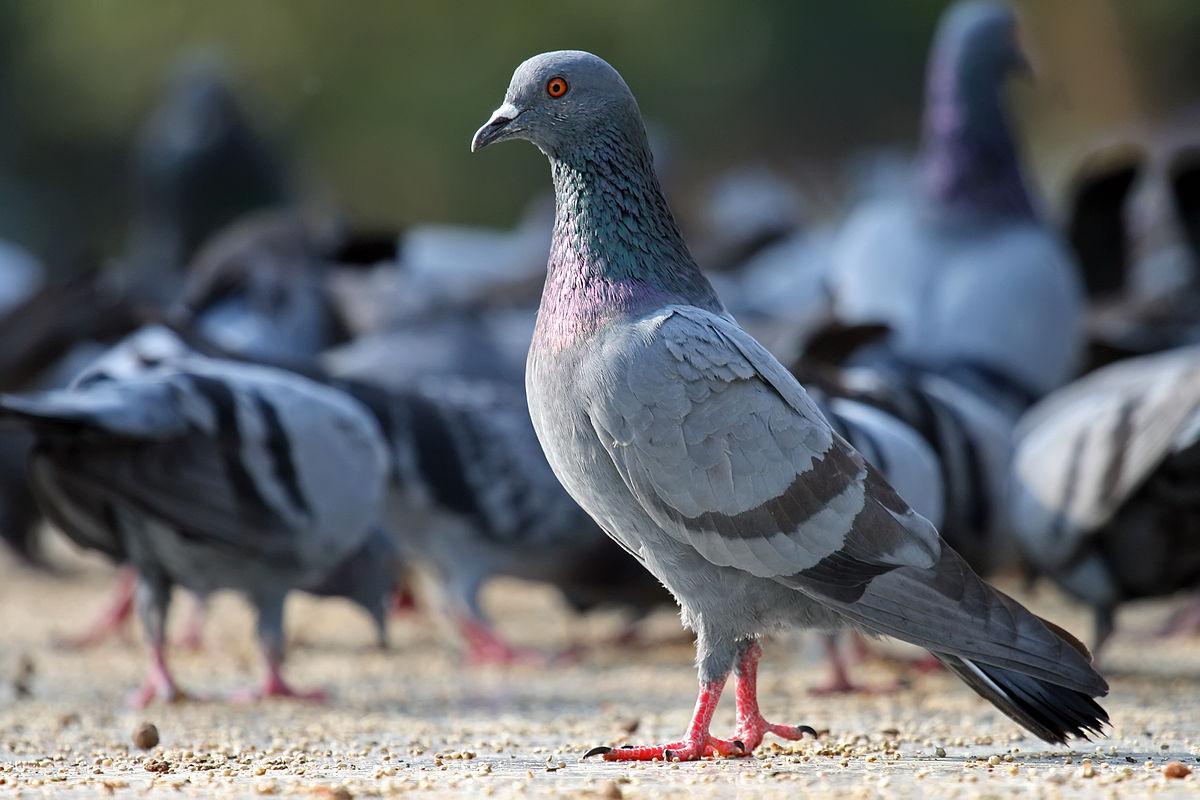 愛と平和のシンボル-鳩
